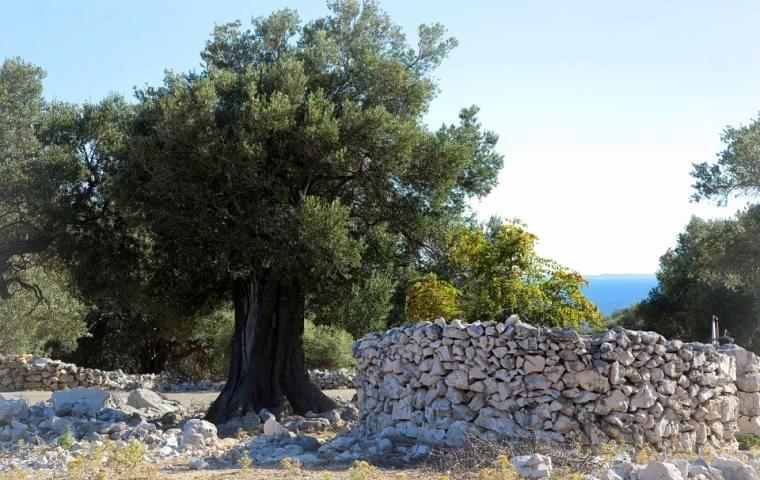 Olijfboom-en-stapelmuur-in-Kroatie